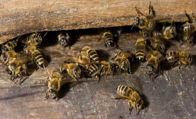 European Honey Bee Group