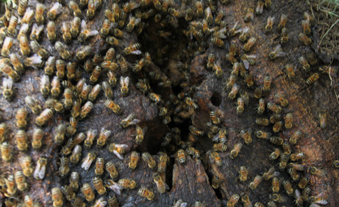 Closeup of Honey Bees on Tree Trunk