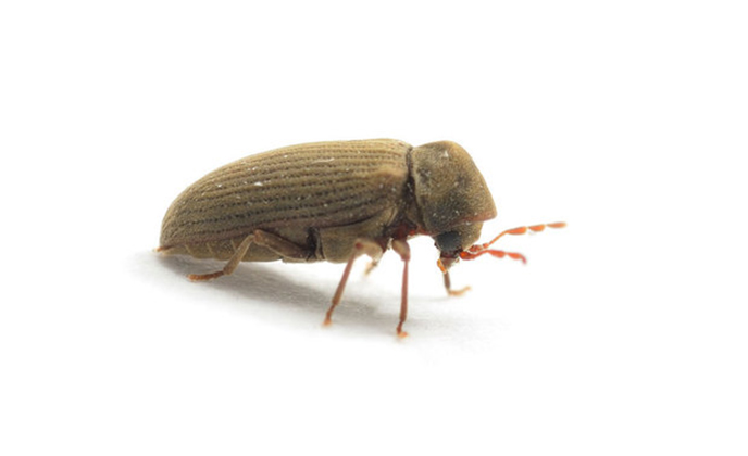 Common Furniture Beetle