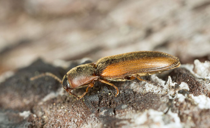 Closeup of a Click Beetle