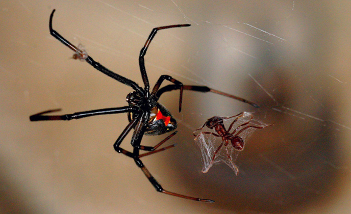 Black Widow with Prey