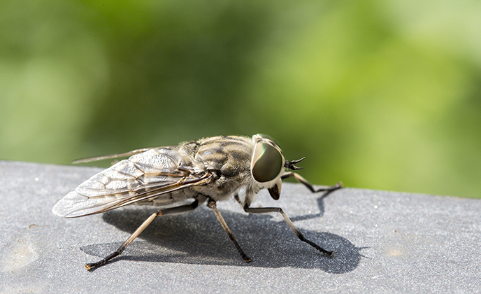 Horse Fly on a Table