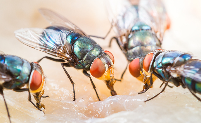 Group of Green Bottle Flies