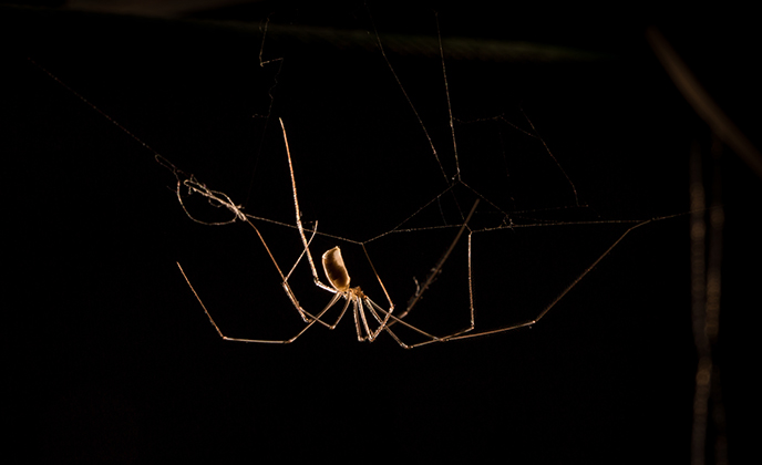 Daddy Long Leg Spider on Web