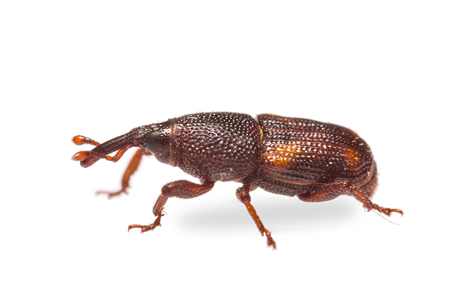 Rice Weevil Closeup