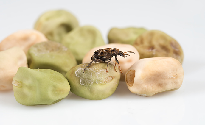 Cow Pea Weevil