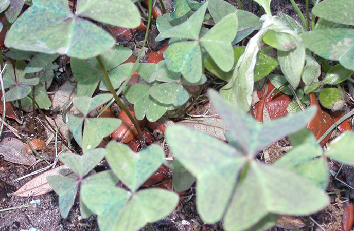 Cuban Purple Woodsorrel